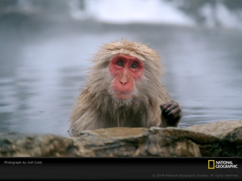 japanese-macaque-cobb-406529-sw